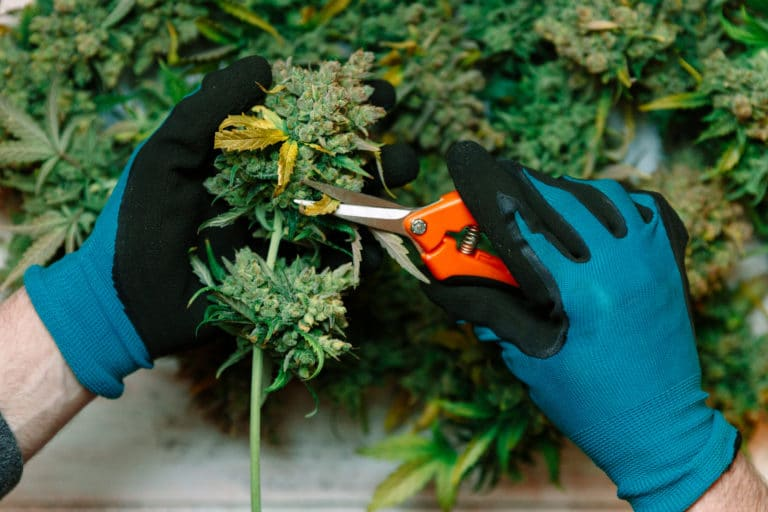 Cutting cannabis buds. medical marijuana concept background